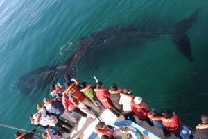 Avistaje de ballenas francas australes en Puerto Pirámides